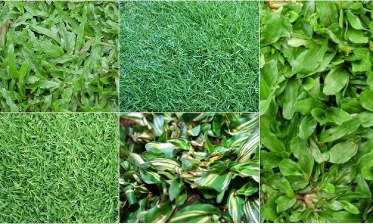 jual rumput taman