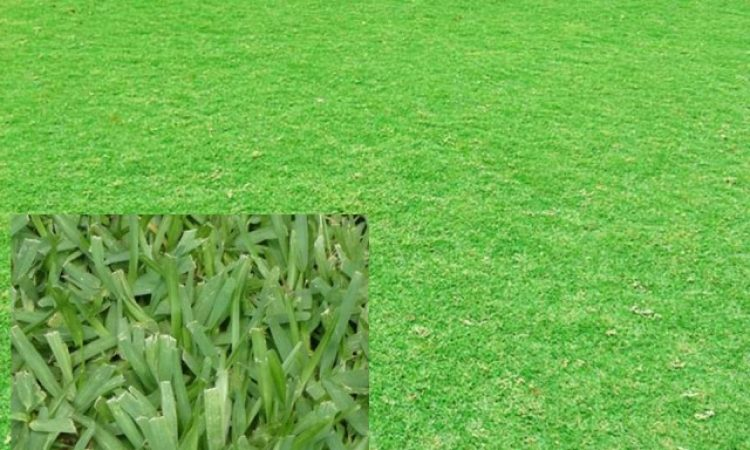 Rumput Babat