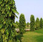 pohon glodogan tiang